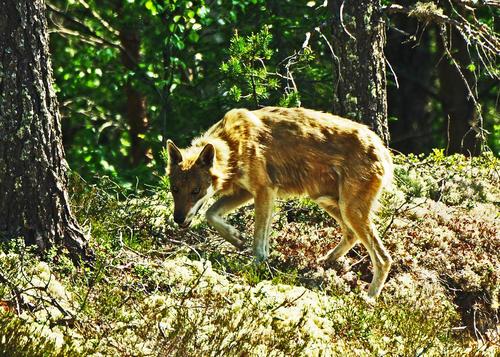 Bilde av ulv fra Kynnareviret