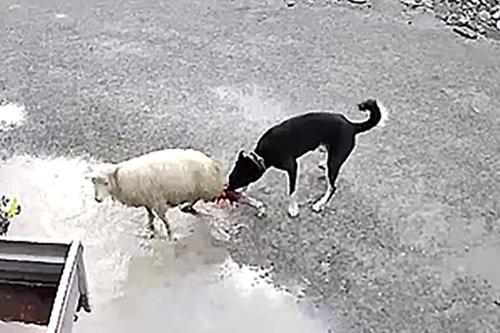 Hund som biter sau.
