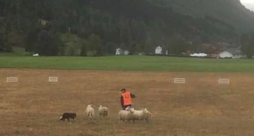 Gjetarhundprøve